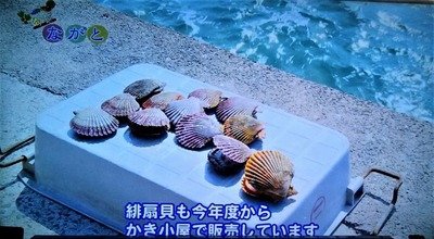 ヒオウギ貝.jpg