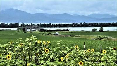 ヒマワリと棚田と青海湖と波の橋立.JPG