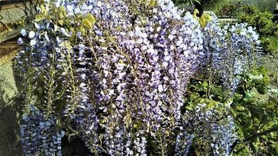 フジの花2.jpg