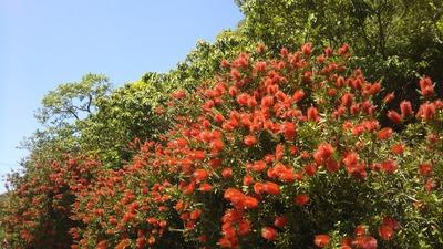 ブラシの木1.jpg