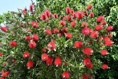ブラシの木2.jpg