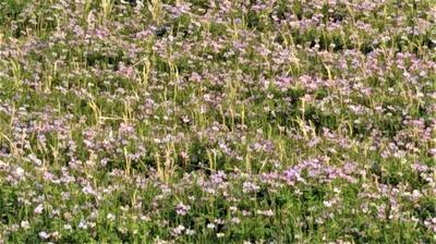 レンゲ畑2.jpg