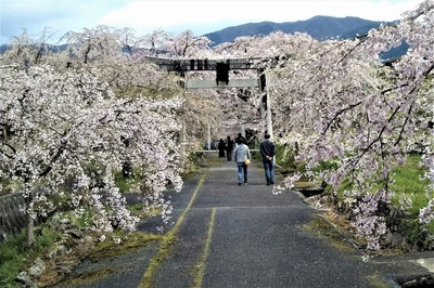 一の鳥居としだれ桜.jpg