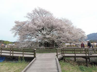一心行の大桜.jpg