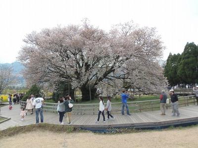 一心行の大桜1.jpg