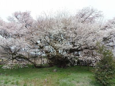 一心行の大桜2.jpg