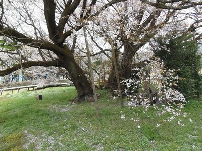一心行の大桜3.jpg