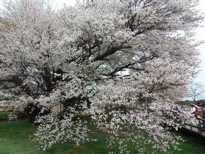 一心行の大桜4.jpg