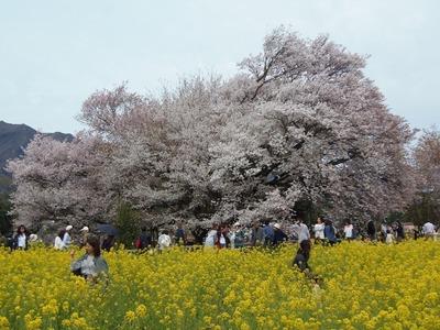 一心行の大桜と菜の花畑.jpg