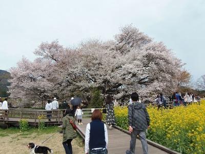 一心行の大桜と菜の花畑2.jpg