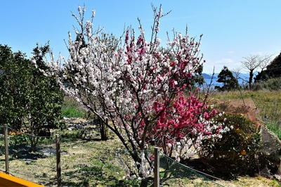 一本の木から二色の花.jpg