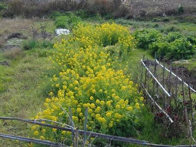 三隅の菜の花2.jpg