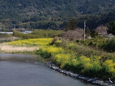 三隅川と菜の花.jpg