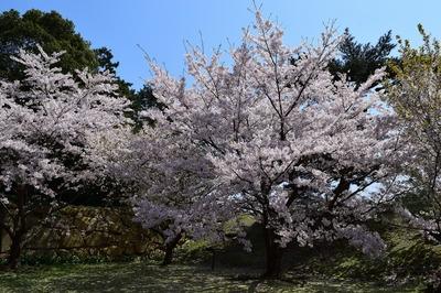 二の丸南門の桜2.jpg