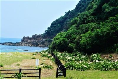 二位ノ浜ハマオモト群落2.jpg