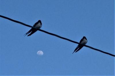 二羽の燕とお月様20.4.4.JPG