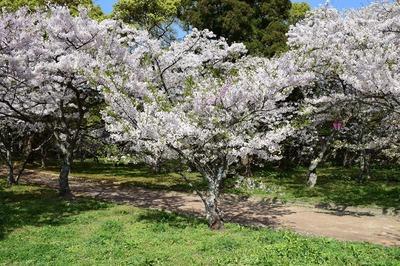 二色の桜1.jpg