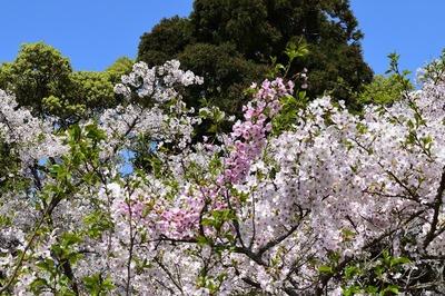 二色の桜2.jpg