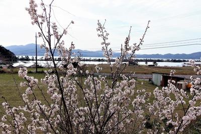 今が旬の彼岸桜と波の橋立8.3.7.jpg