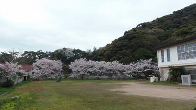 体育館と桜2.jpg