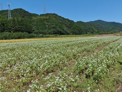 八代のそば畑2.jpg
