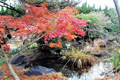 八坂神社の紅葉2.jpg