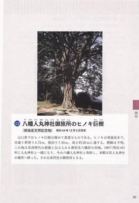八幡人丸神社御旅所のヒノキ巨樹.jpg
