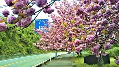 八重桜4.jpg