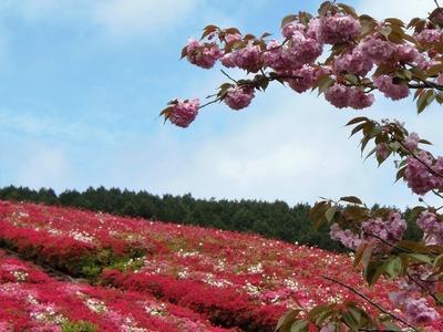 八重桜とつつじ.jpg