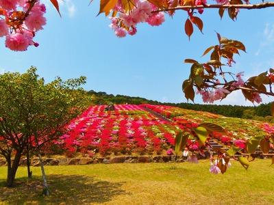 八重桜とツツジ.jpg