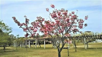 八重桜とフジ.jpg