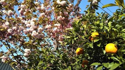 八重桜と夏みかん.jpg