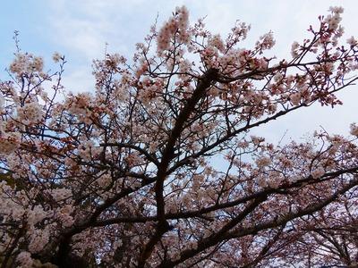 公園入口の桜2.jpg