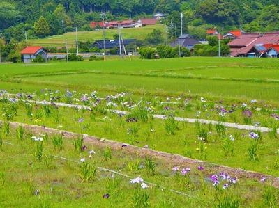 半田の花菖蒲1.jpg