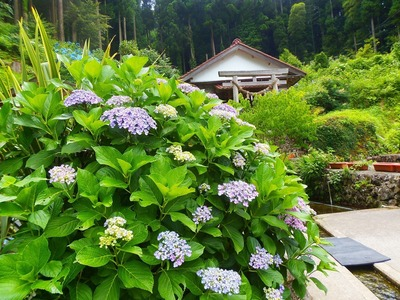 半田弁天と紫陽花3.jpg