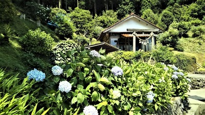 半田弁天の紫陽花2.jpg