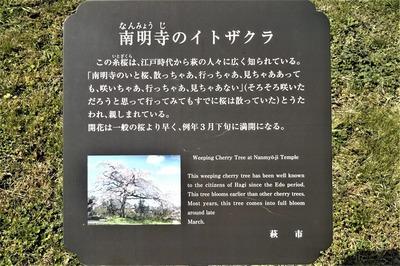 南明寺イトザクラ説明.jpg