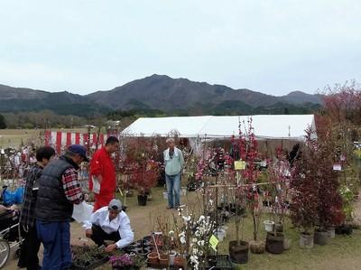 南阿蘇桜植木まつり2.jpg
