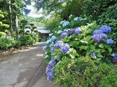 参道と紫陽花2.jpg