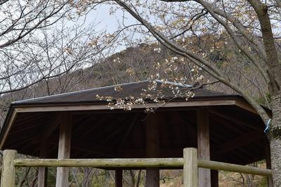 四阿と桜2.jpg