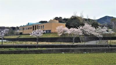 図書館の桜.jpg