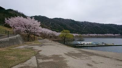 土師ダムの満開の桜1.JPG