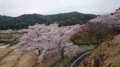 土師ダムの満開の桜2.JPG