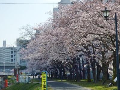 基町の桜1.jpg