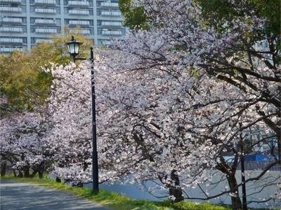 基町の桜2.jpg