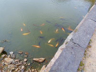 堀の鯉.jpg