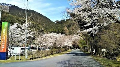 大寧寺の桜1.jpg