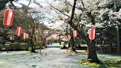 大寧寺の桜3.jpg