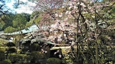 大寧寺の桜5.jpg
