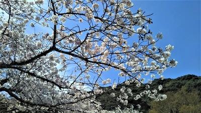大寧寺の桜6.jpg